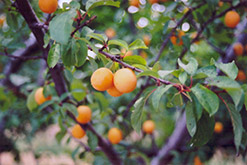 Goldcot Apricot (Prunus armeniaca 'Goldcot') at Hicks Nurseries