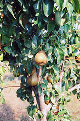 Bosc Pear (Pyrus communis 'Bosc') at Hicks Nurseries