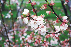 Harcot Apricot (Prunus armeniaca 'Harcot') at Hicks Nurseries