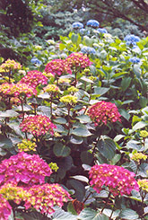 Blue Wave Hydrangea (Hydrangea macrophylla 'Blue Wave') at Hicks Nurseries