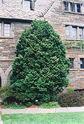Compact Hinoki Falsecypress (Chamaecyparis obtusa 'Compacta') at Hicks Nurseries