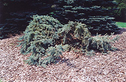 Creeping Blue Spruce (Picea pungens 'Glauca Prostrata') at Hicks Nurseries
