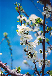 Mount Royal Plum (Prunus 'Mount Royal') at Hicks Nurseries