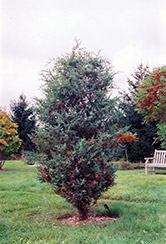 Chinese Juniper (Juniperus chinensis) at Hicks Nurseries