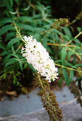 Nanho White Butterfly Bush (Buddleia davidii 'Nanho Alba') at Hicks Nurseries