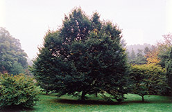 European Hornbeam (Carpinus betulus) at Hicks Nurseries