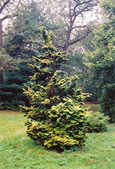 Slender Golden Falsecypress (Chamaecyparis obtusa 'Gracilis Aurea') at Hicks Nurseries