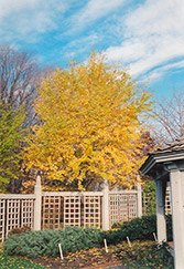 Columnar Ginkgo (Ginkgo biloba 'Fastigiata') at Hicks Nurseries