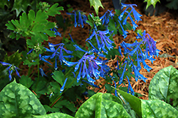 Blue Corydalis (Corydalis elata) at Hicks Nurseries