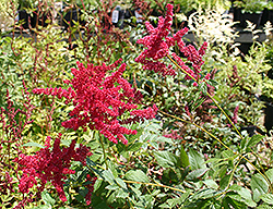 Glow Astilbe (Astilbe x arendsii 'Glow') at Hicks Nurseries