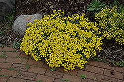 Gold Dust Basket Of Gold (Aurinia saxatilis 'Compacta') at Hicks Nurseries