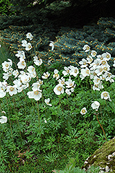Windflower (Anemone sylvestris) at Hicks Nurseries