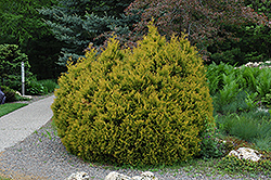Rheingold Arborvitae (Thuja occidentalis 'Rheingold') at Hicks Nurseries