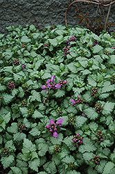 Red Nancy Spotted Dead Nettle (Lamium maculatum 'Red Nancy') at Hicks Nurseries