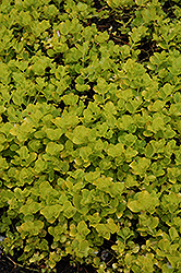Golden Creeping Jenny (Lysimachia nummularia 'Aurea') at Hicks Nurseries