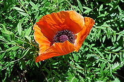 Oriental Poppy (Papaver orientale) at Hicks Nurseries