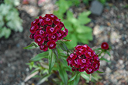Sweet William (Dianthus barbatus) at Hicks Nurseries