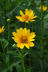 False Sunflower (Heliopsis helianthoides) at Hicks Nurseries