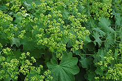 Lady's Mantle (Alchemilla mollis) at Hicks Nurseries
