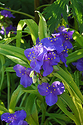 Sweet Kate Spiderwort (Tradescantia x andersoniana 'Sweet Kate') at Hicks Nurseries