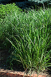Switch Grass (Panicum virgatum) at Hicks Nurseries