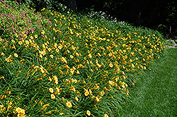 Happy Ever Appster® Happy Returns Daylily (Hemerocallis 'Happy Returns') at Hicks Nurseries