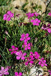Alpine Pinks (Dianthus alpinus) at Hicks Nurseries