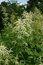 Goatsbeard (Aruncus dioicus) at Hicks Nurseries