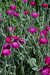 Rose Campion (Lychnis coronaria) at Hicks Nurseries
