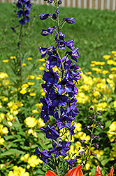Black Knight Larkspur (Delphinium 'Black Knight') at Hicks Nurseries