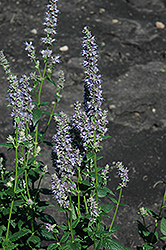 Anise Hyssop (Agastache foeniculum) at Hicks Nurseries