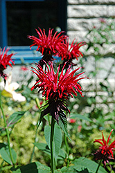 Jacob Cline Beebalm (Monarda 'Jacob Cline') at Hicks Nurseries