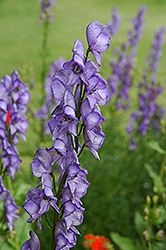 Common Monkshood (Aconitum napellus) at Hicks Nurseries
