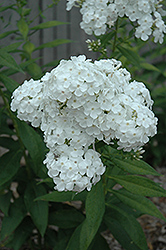 David Garden Phlox (Phlox paniculata 'David') at Hicks Nurseries