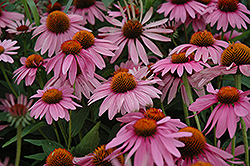 Magnus Coneflower (Echinacea purpurea 'Magnus') at Hicks Nurseries