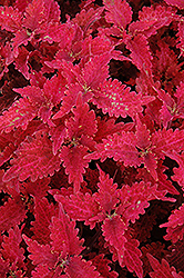 Stained Glass Copper Coleus (Solenostemon scutellarioides 'Stained Glass Copper') at Hicks Nurseries