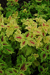 Amazon Coleus (Solenostemon scutellarioides 'Amazon') at Hicks Nurseries