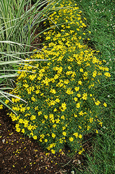 Zagreb Tickseed (Coreopsis verticillata 'Zagreb') at Hicks Nurseries