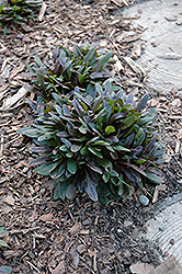 Chocolate Chip Bugleweed (Ajuga reptans 'Chocolate Chip') at Hicks Nurseries