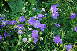 Carpathain Bellflower (Campanula carpatica) at Hicks Nurseries