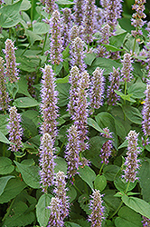Blue Fortune Anise Hyssop (Agastache 'Blue Fortune') at Hicks Nurseries