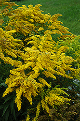 Crown Of Rays Goldenrod (Solidago 'Crown Of Rays') at Hicks Nurseries