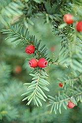 Japanese Yew (Taxus cuspidata) at Hicks Nurseries