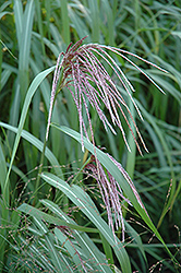 Maiden Grass (Miscanthus sinensis) at Hicks Nurseries