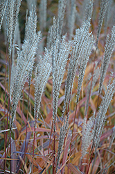 Flame Grass (Miscanthus sinensis 'Purpurascens') at Hicks Nurseries