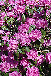 P.J.M. Rhododendron (Rhododendron 'P.J.M.') at Hicks Nurseries