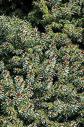 Dwarf Serbian Spruce (Picea omorika 'Nana') at Hicks Nurseries
