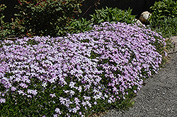 Emerald Blue Moss Phlox (Phlox subulata 'Emerald Blue') at Hicks Nurseries