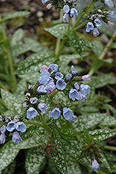 Roy Davidson Lungwort (Pulmonaria 'Roy Davidson') at Hicks Nurseries