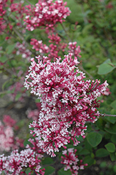 Tinkerbelle Lilac (Syringa 'Tinkerbelle') at Hicks Nurseries